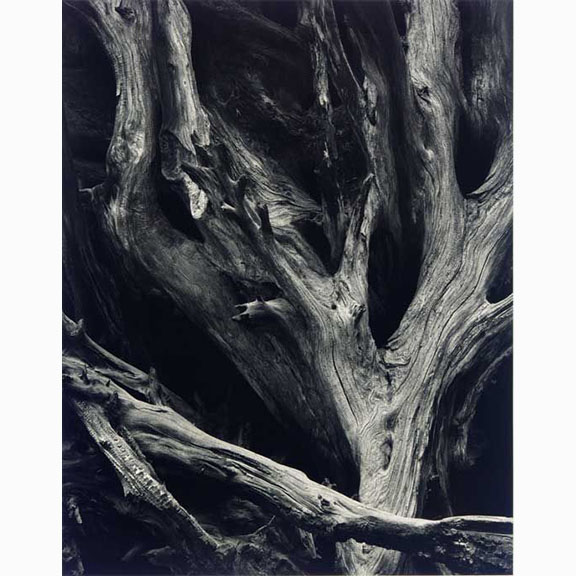 Ansel Adams, Sequoia Roots, Yosemite National Park, California, 1950, Gelatin silver, Printed Later