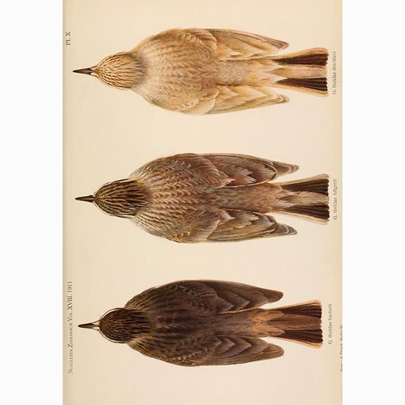 Novitates Zoologicae published 1911