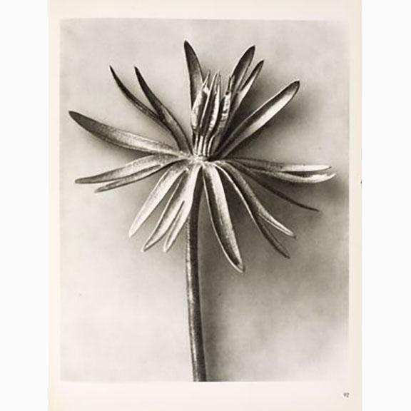Karl Blossfeldt, Urformen der Kunst, 1928