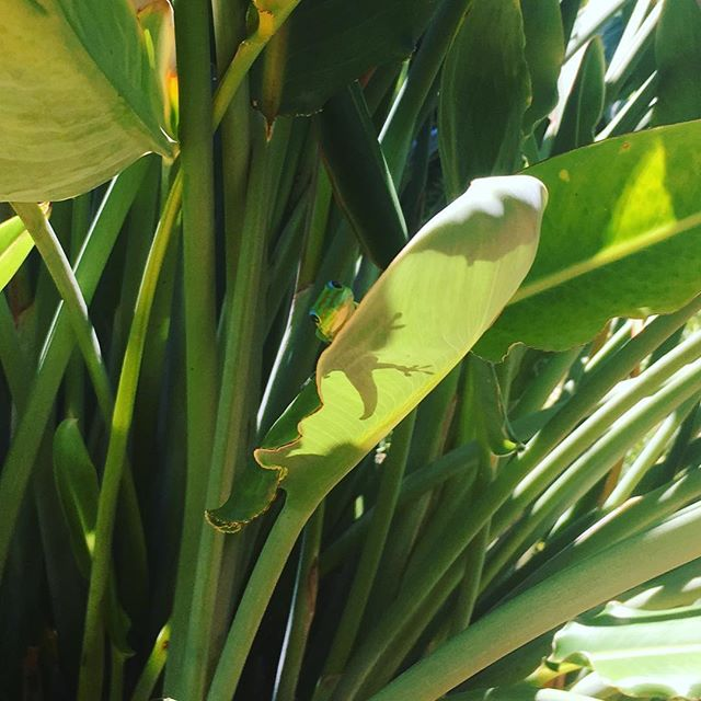 A visit from a local cutie  #hawaii #beachlife #sunsout #gecko #curious #chilled