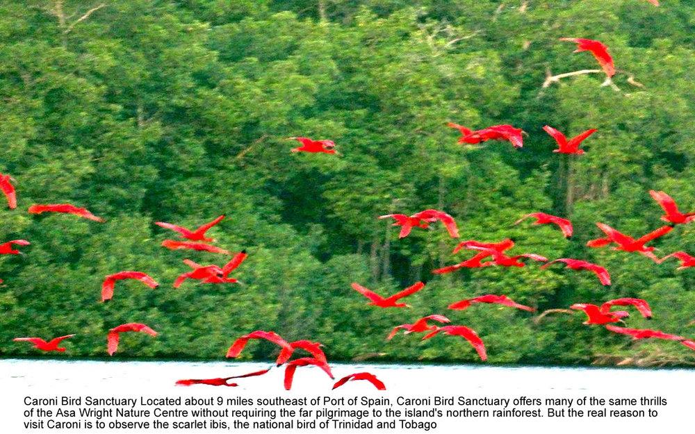 scarlet-ibis-caroni-trinidad.jpg