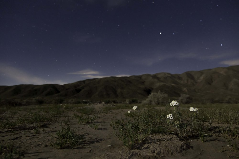 Flowers grow from the desert floor at night.