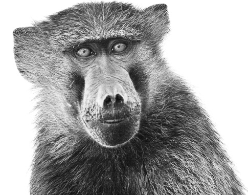 Baboon cooperation (1 of 1).jpg