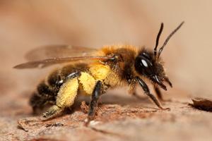 Bees 300 (1 of 1).jpg