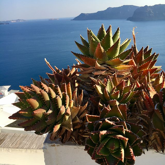 May your Monday be as phenomenal as the foliage in Santorini.✨ * In all seriousness, maybe because the island was white-washed the plants looked brighter, but I didn't care. I was amazed at how vivid they were. I was intentional about noticing what was around me and needed to take that attitude back to Dallas. When I got back, I never realized how much I enjoy the flowers in my -own- neighborhood that were blooming. They won't be around all year because winter will be here before we know it. My trip reminded me to literally stop and smell the roses.🌺🌻 * Blessed Monday, travelers. ❤️
