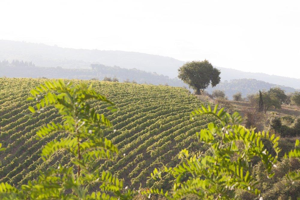 vineyard-989281.jpg