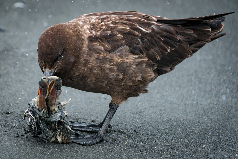 The Skua - If the gentoos are our heroes, then surely the skua are the villains.  These scavengers, feed off the dead and prey on the weak. Watch out!, gentoo nesters!