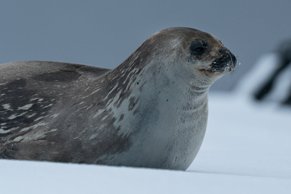 - Weddell seal at D'Hainaut Is, Mikkelsen Harbour