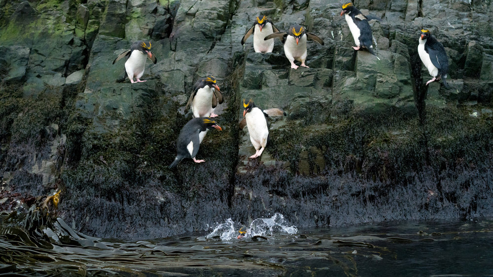 Macaroni penguins are hilarious.  For the amount of time they spend on the rocks they sure are skittish when in comes to jumping in the water.   They sit of the edge egging their friends to jump in first.