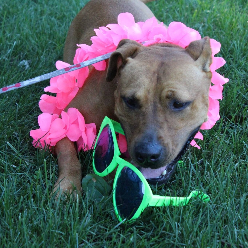 Leia is the poster girl for Dog Days of Summer.  She's adoptable from HSDMC!