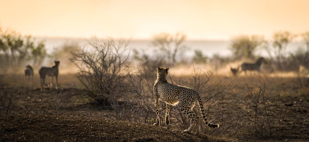 Cheeta & zebra