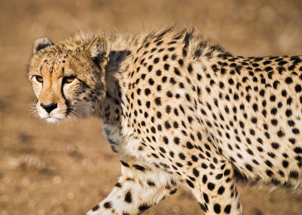 Jonge cheeta