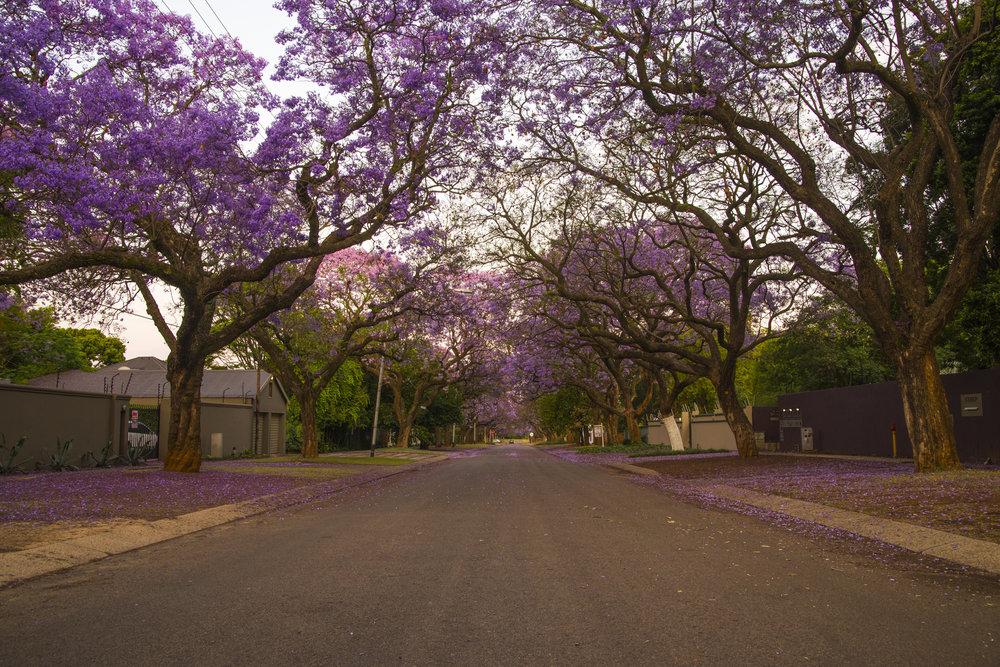 De boom van Pretoria; Jacaranda