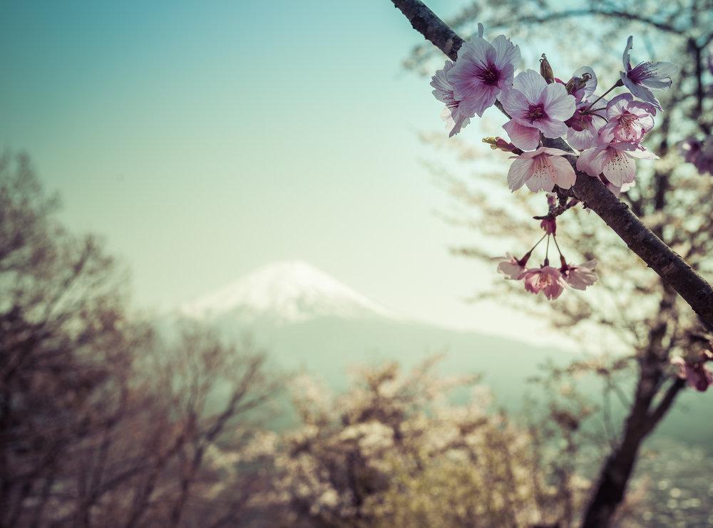 Kersenbloesem en Fuji-San