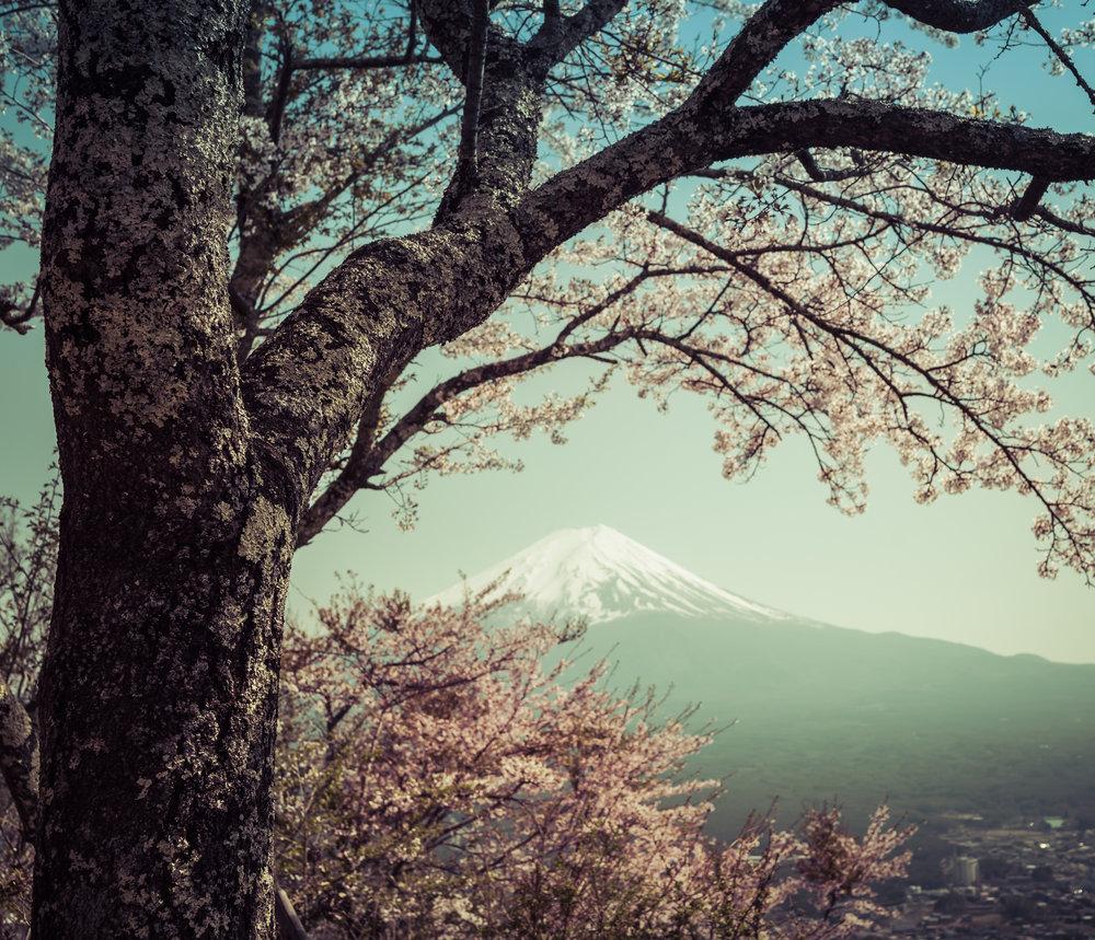 De natuurlijke kadering van de kersenboom