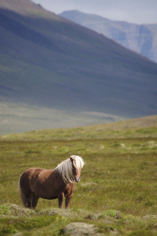 De stoere IJslandse paarden