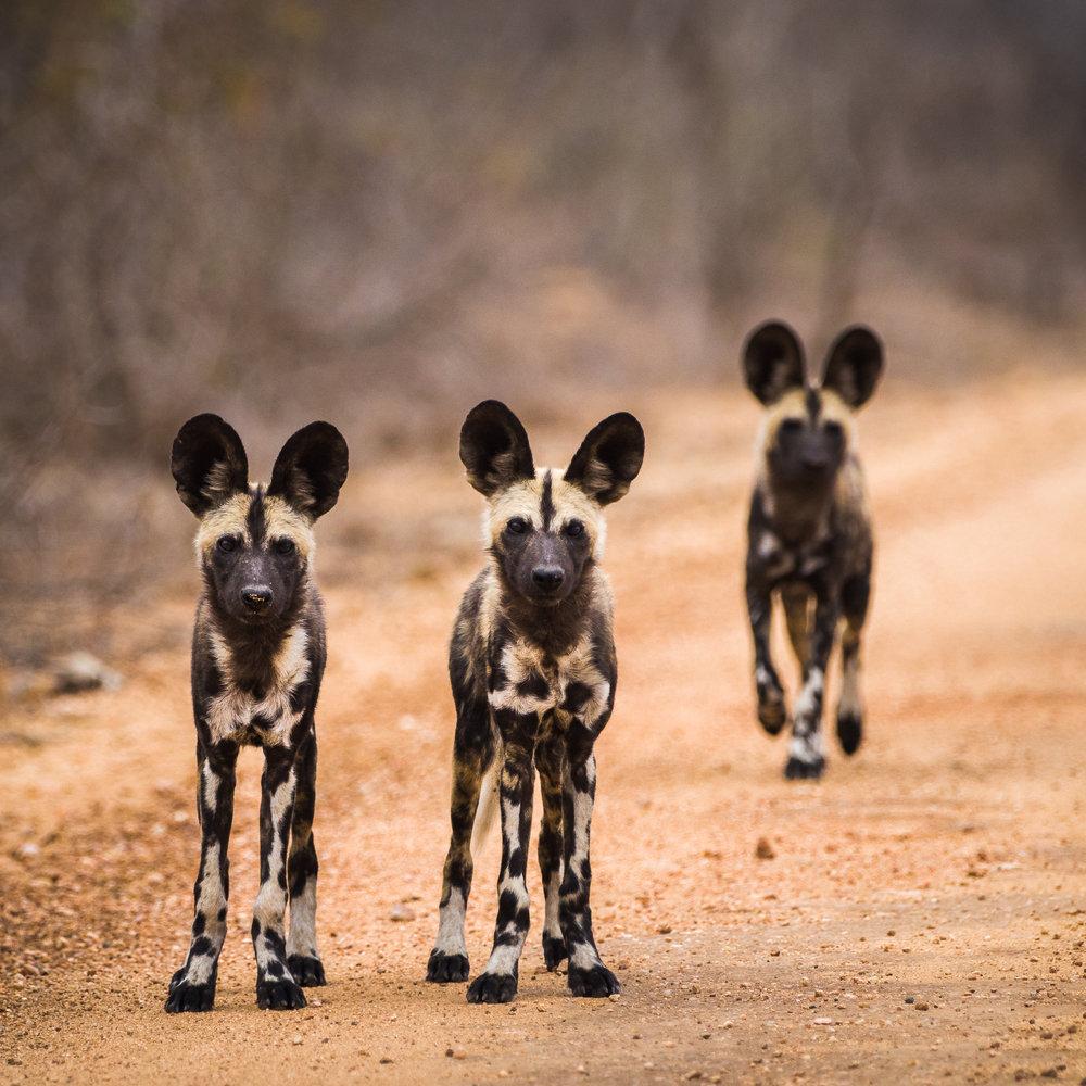 Jonge honden, Zuid Afrika