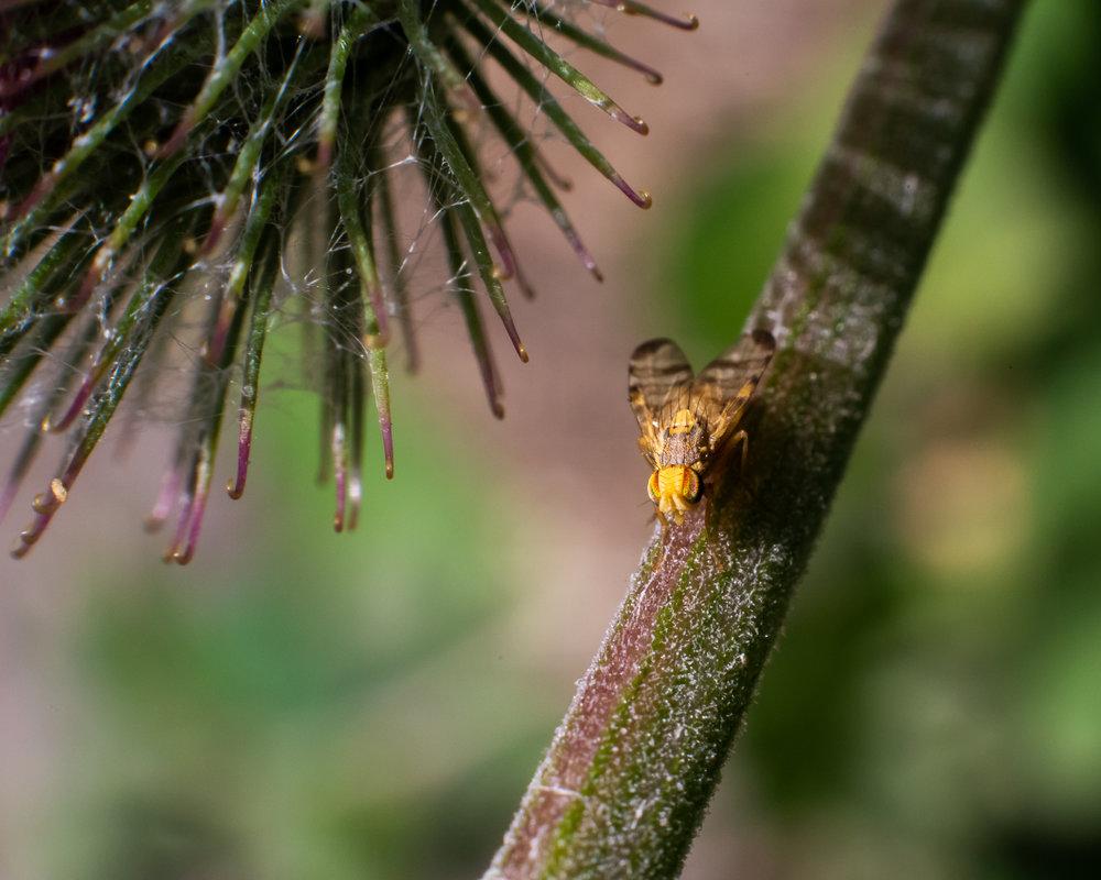 insect van 2 mm groot zittend op een distel
