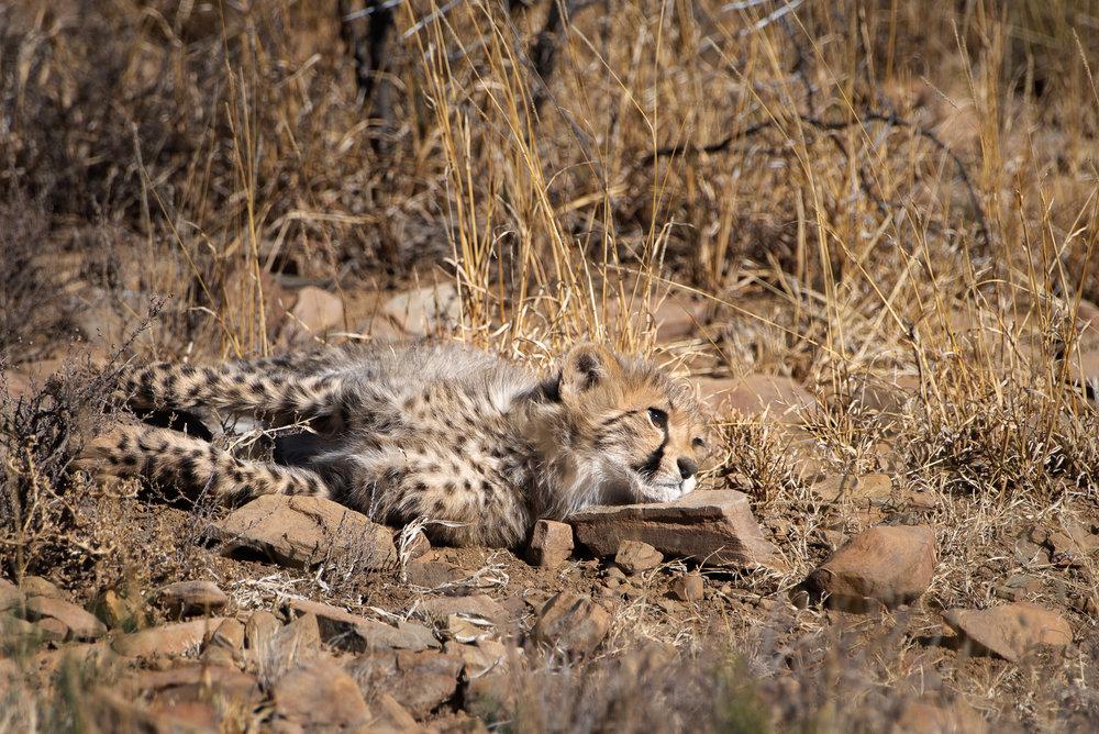 Cheeta jong