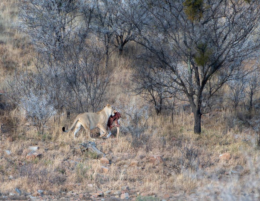 Leeuw met een 1/2 deel Springbok