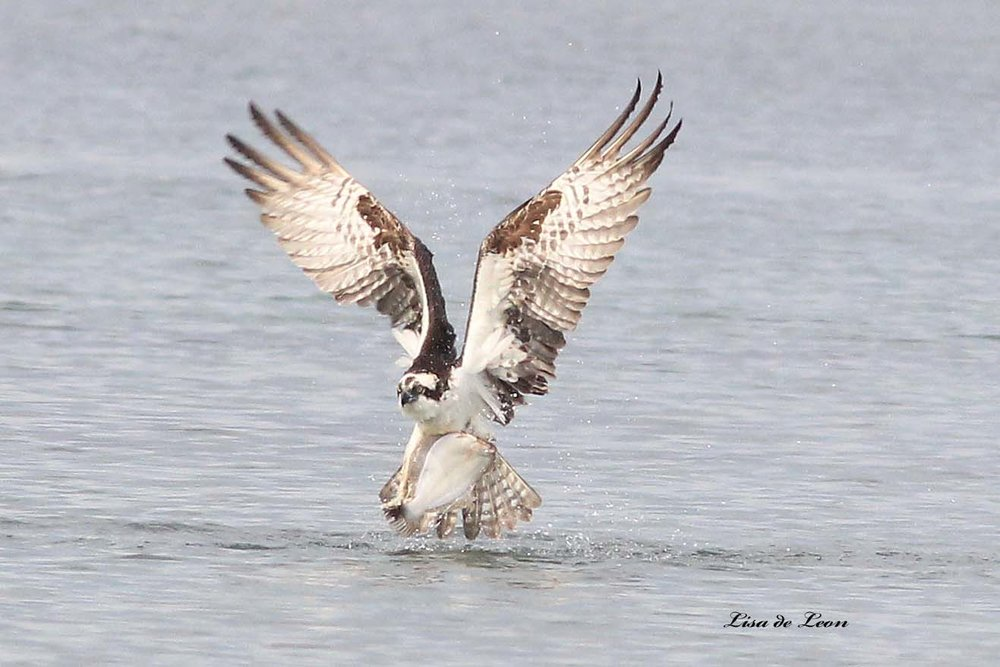 osprey212_edited-1.jpg