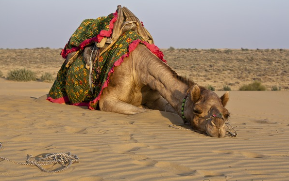 Cho's camel, lamenting the demanding lifestyle of a photogenic camel.