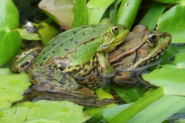 frogs-259647_640