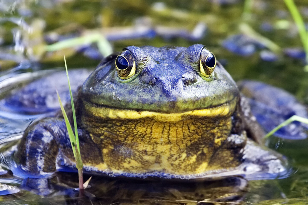 Bullfrog_-_natures_pics.jpg