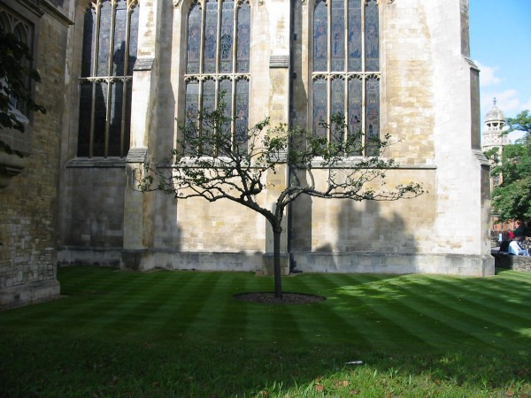 Picture of apple tree at Trinity College, Cambridge by zenm at flickr