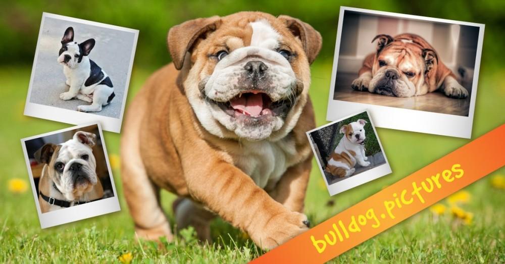 bulldog_pictures-01