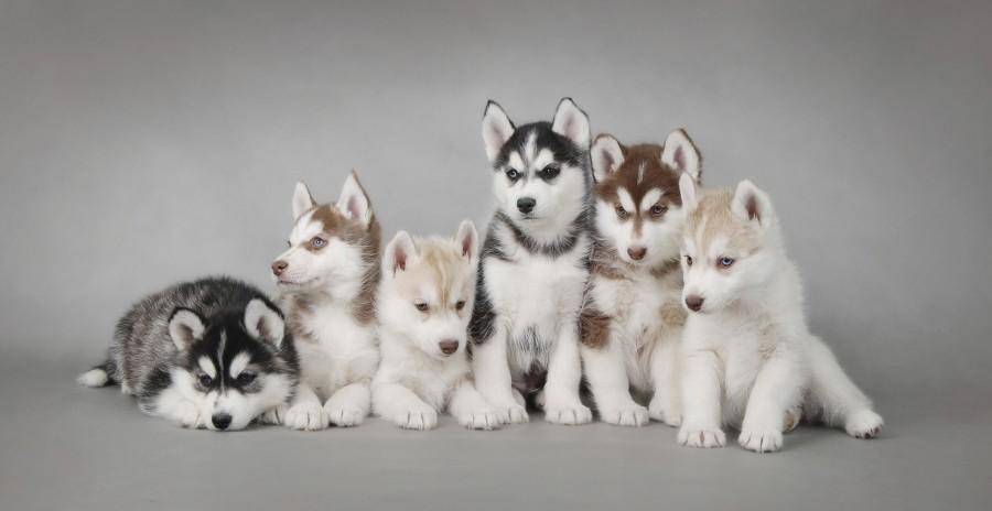 snowdog.guru - husky puppies