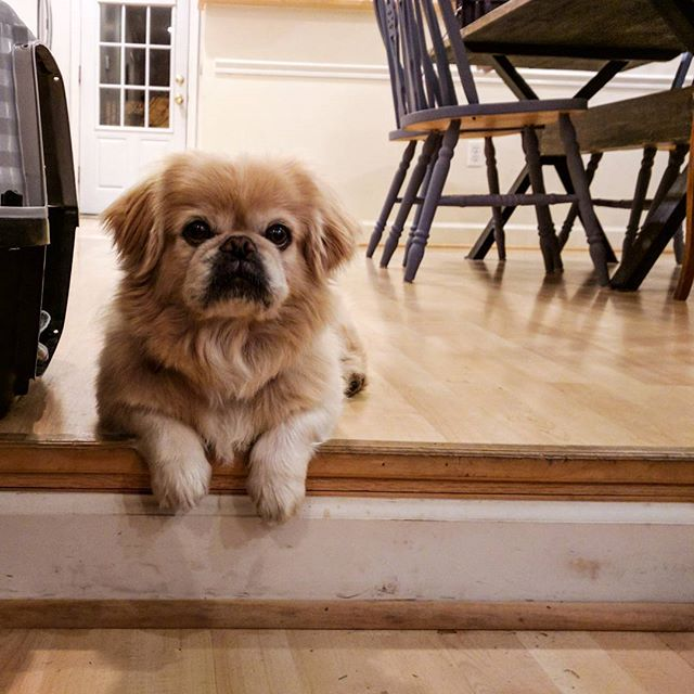 Why, yes—I *do* know what a handsome little gentleman I am!  #pekingeseducky #pekingese #citydog #regal #adorable #doglife