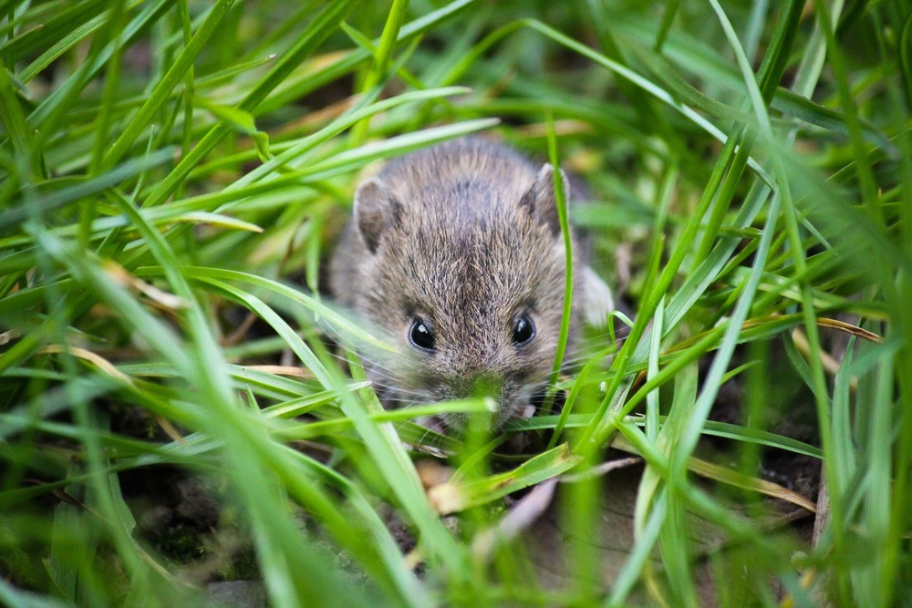 SWANSEA MOUSE MICE PEST CONTROL