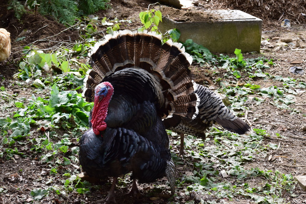 I took this picture last year sometime... my brother's Turkey, Tom. He is (was?) the coolest Turkey I've ever met.