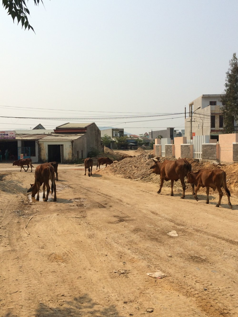 Cows hang out on the future site of the new water treatment plant to serve Da Nang, Vietnam