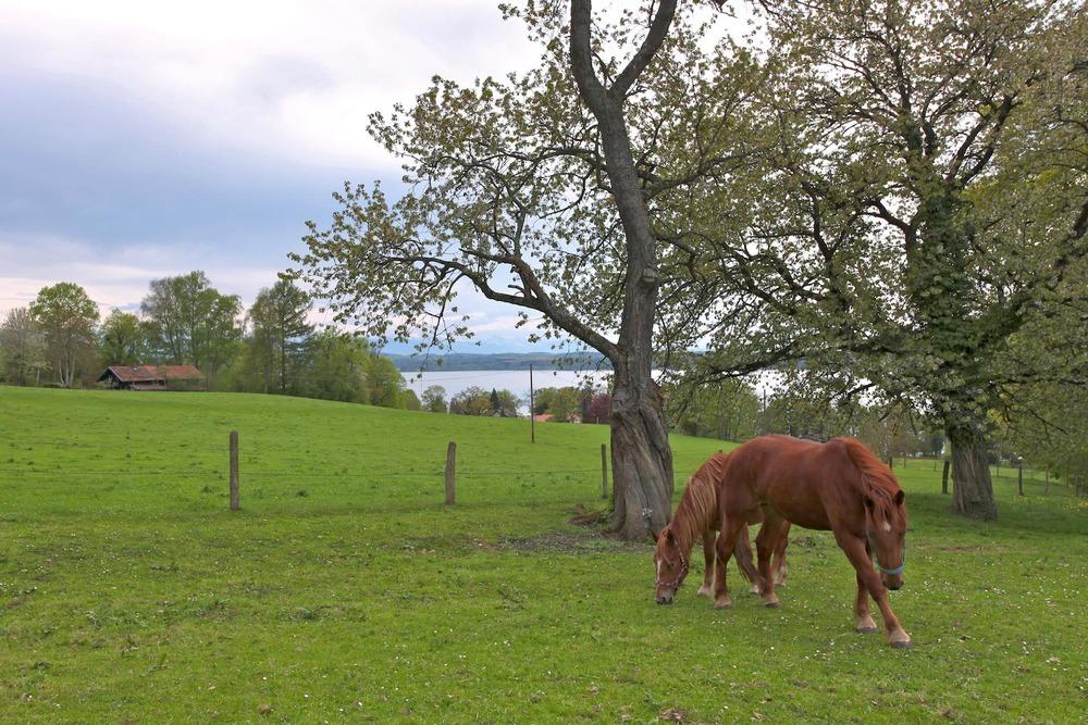 Starnberger_See_Blick_ueber_Ambach_Pferde.jpg