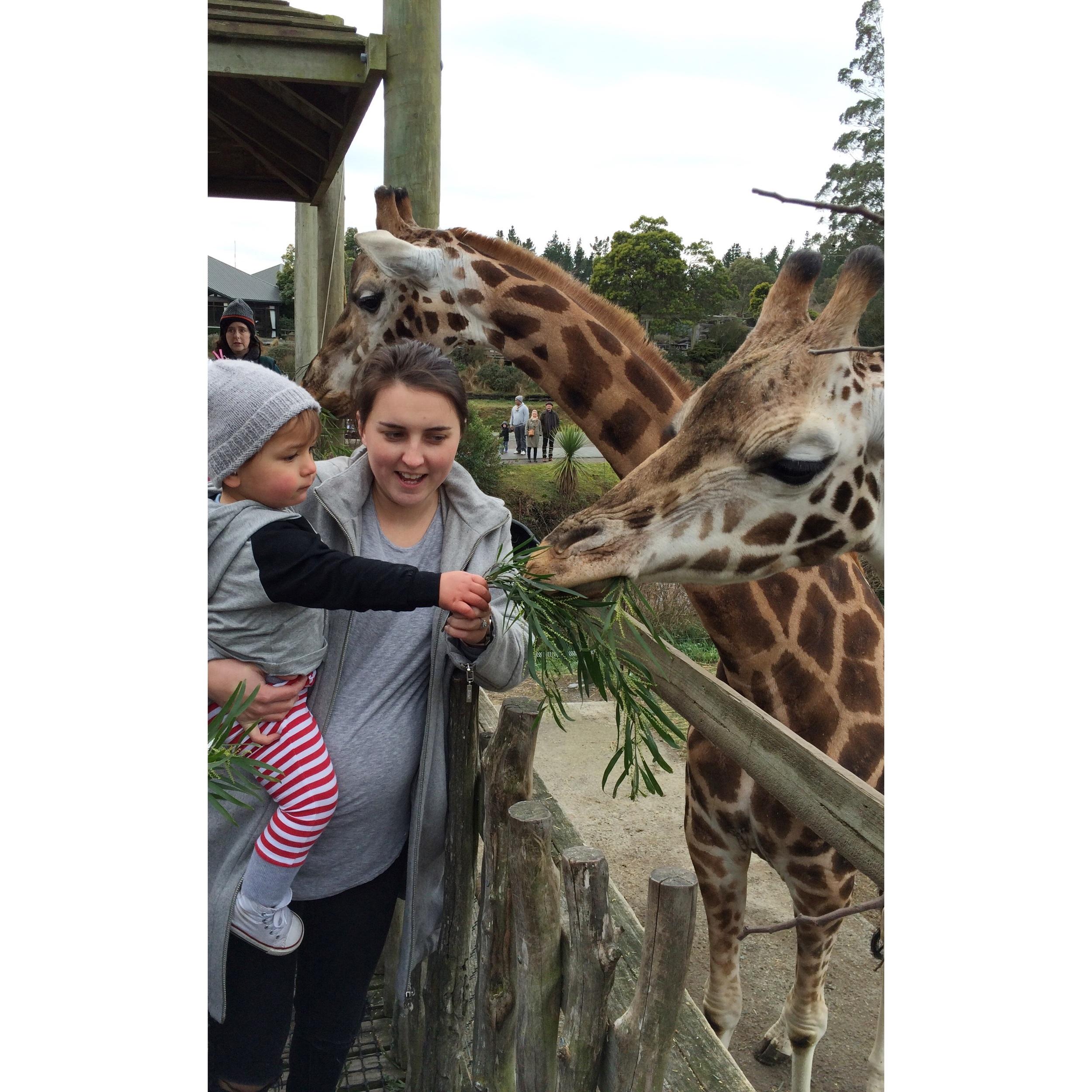 Feeding the giraffe at Orana Park.