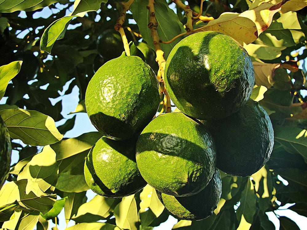 recipes with avocado