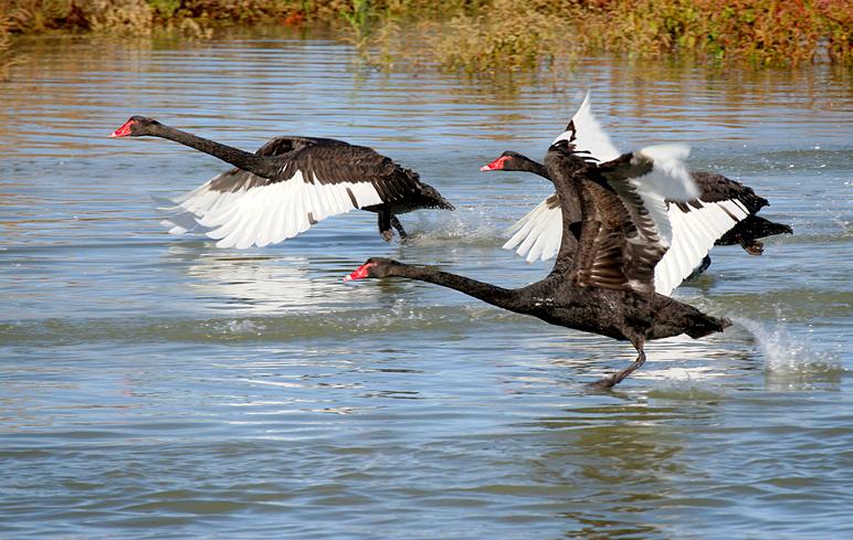 20070516152411_flying-black-swans-blog.jpg