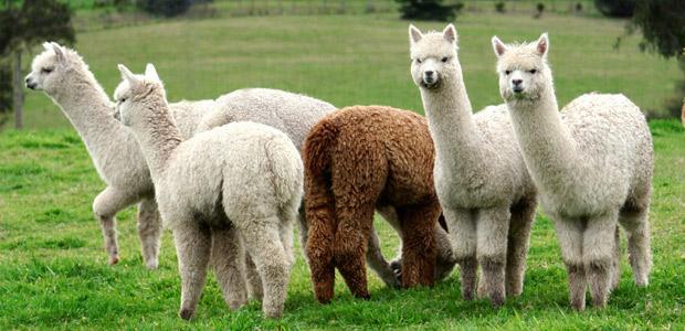 Kelly-And-Windsor_Australian-Alpaca.jpg