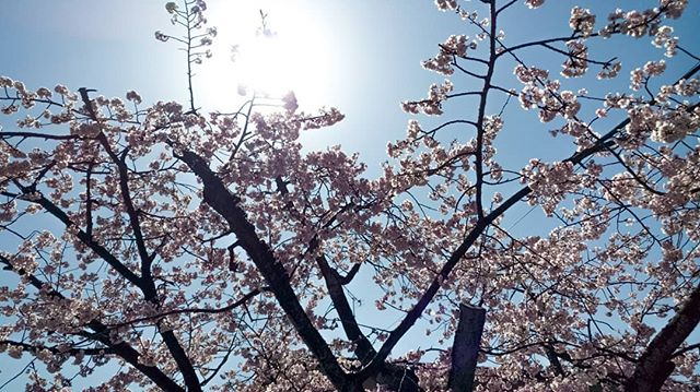 #cherryblossom #beautifilday #pink #flowers #warm #work #goodlocation #photographoftheday #birds #japanesesweets #photography