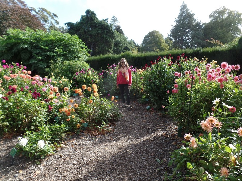 dahlias-christchurch.JPG