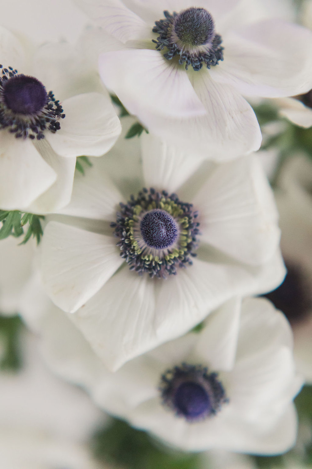 Black and white anemones