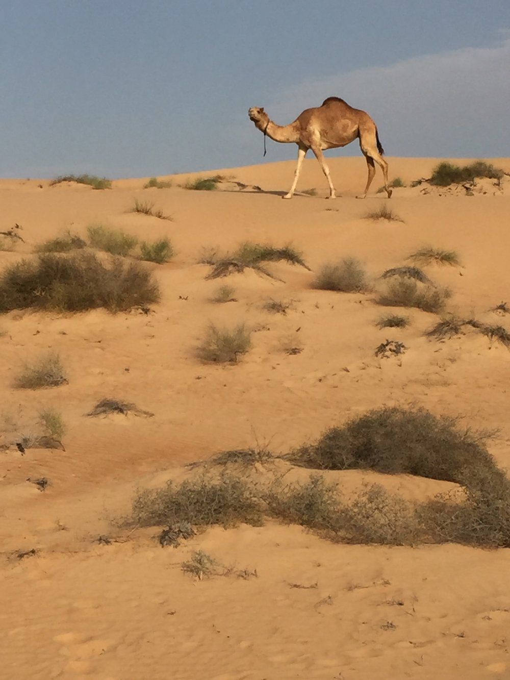 We saw lots of camels - but they are not wild.