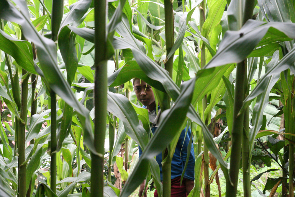 Abiyu Hiding In The Maize.jpg