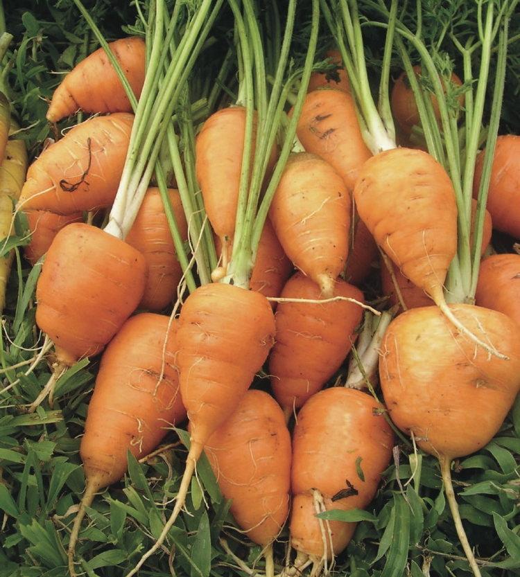 Varietate veche de morcov de Guérande