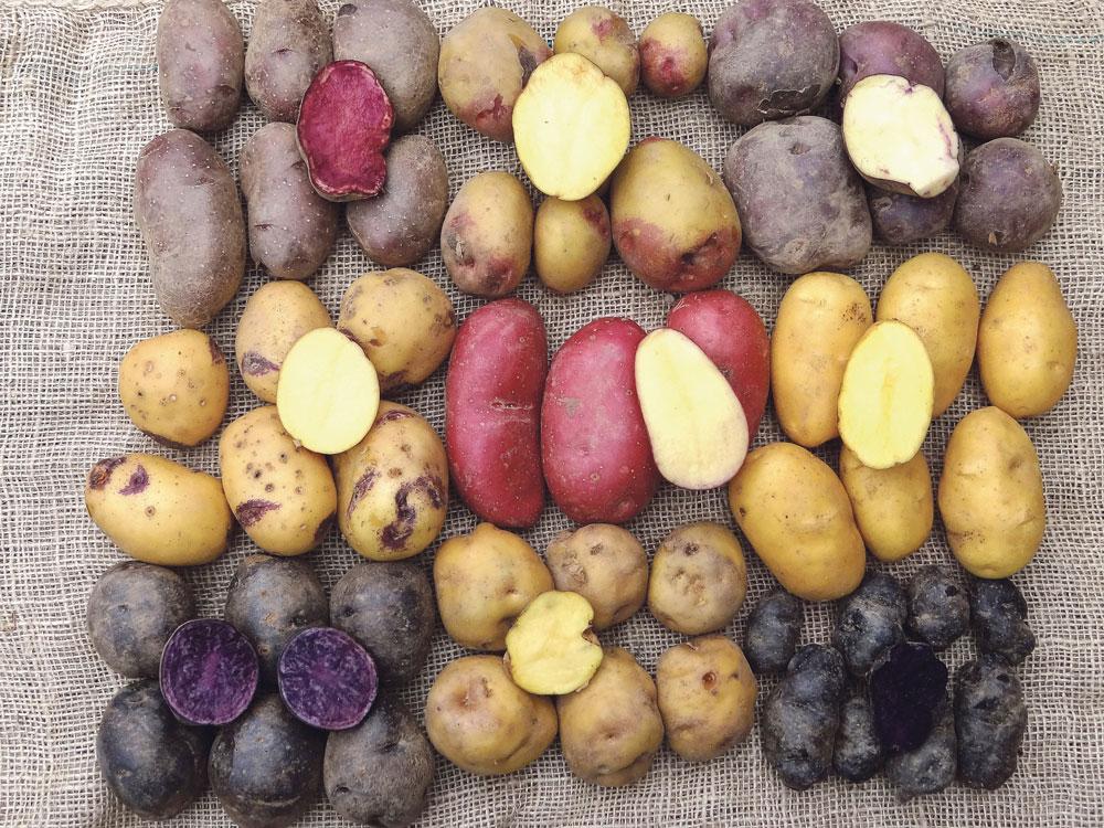 rassembler-varietes-pommes-de-terre.jpg