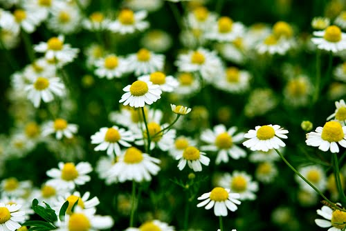 flori de musetel.jpg