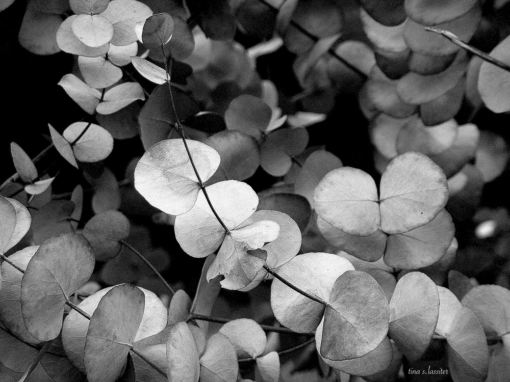 bucalyptus