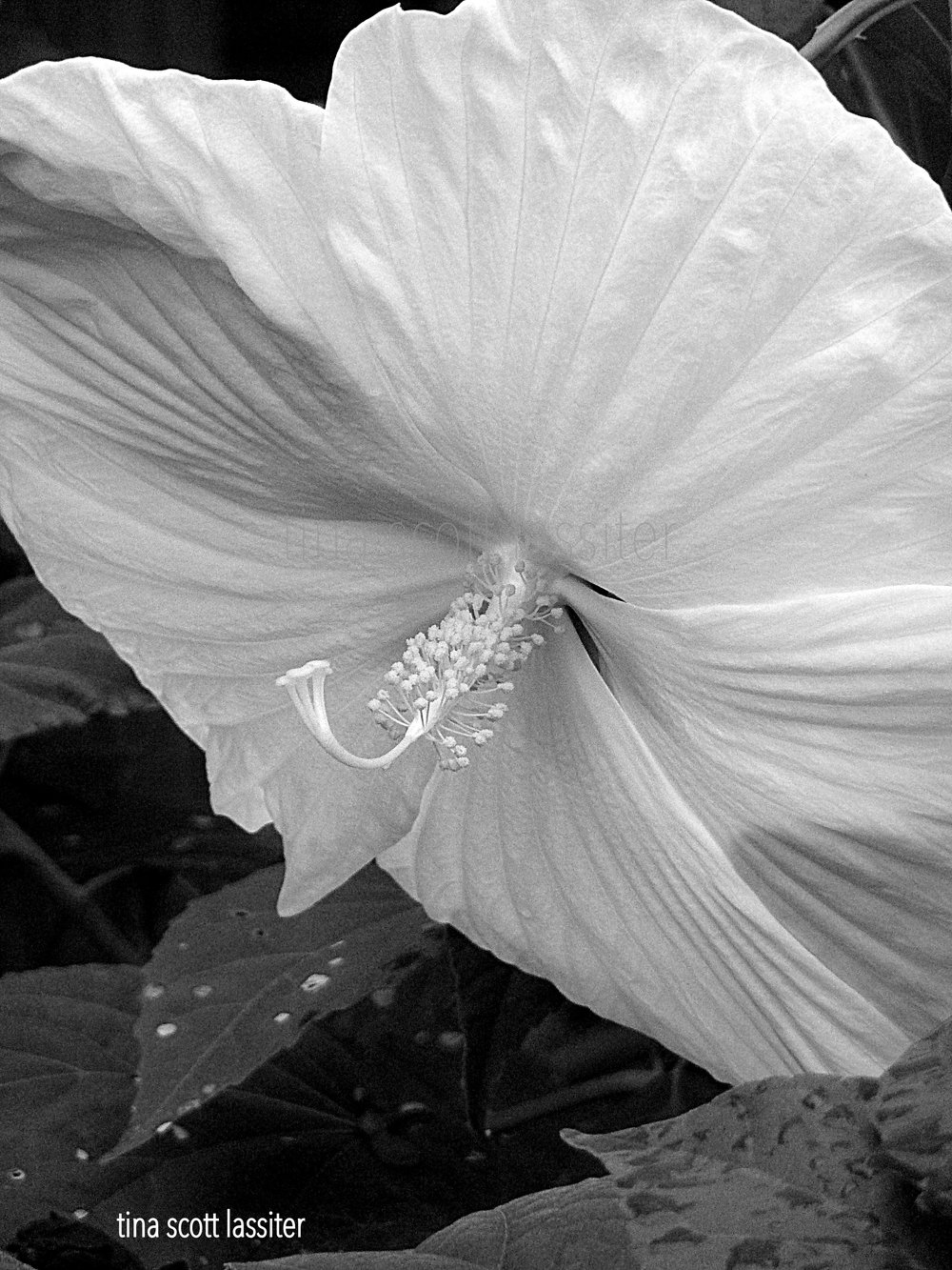 hibiscus in the AM